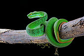 Large-eyed Pit Viper (Trimeresurus macrops) male on black background.