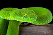 Large-eyed Pit Viper (Trimeresurus macrops) portrait of female on black background.