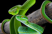 Large-eyed Pit Viper (Trimeresurus macrops) pair on black background.