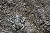 Young Common Midwife Toad (Alytes obstetricans) trapped in a deep hole dug in the ground and which he can not ascend, Auvergne, France