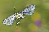 Black-veined white (Aporia crataegi) couple on a flower of Sneezewort (Achillea ptarmica) in a wet meadow in spring, Auvergne, France