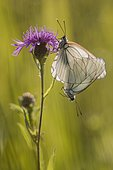 Black-veined white (Aporia crataegi) mating on a flower of meadow knapweed in a wet meadow in spring, Auvergne, France