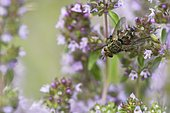 Tachinid fly (Peleteria varia) on a stem of wild Thyme in a meadow of biological pasture of the bourbonnais grove in summer, Auvergne, France