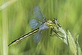 Yellow-legged Clubtail (Gomphus pulchellus) female on a wild plant in a wet area in spring, Auvergne, France