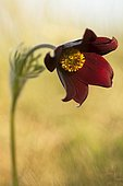 Red Pasque Flower (Pulsatilla rubra) against the light on an outcrop in limestone slopes, Auvergne, France