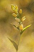 White Helleborine (Cephalanthera damasonium) on a raised mountain trail in the Drôme in the spring. la France