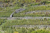 Vineyard in terraces with shelter integrated in the retaining wall in dry stones, Côtes d'Auvergne, Boudes, Auvergne