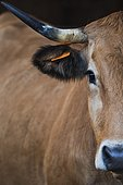 Portrait of Aubrac cow in shelter in a stable. France