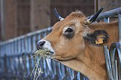Aubrac cow eating hay through a barrier located in a barn. France