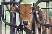 Calf Aubrac passing its head through a gate barrier looking for hay. France