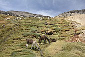 Herd of Alpacas (Vicugna pacos) in the Reserva Nacional Salinas and Aguada Blancas, Arequipa Region, Peru