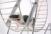 Mouse playing in a wheel