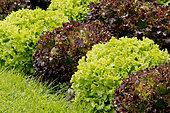 Laitue feuille de chêne 'Bowl Rouge Flamenco', Laitue feuille de chêne 'Salad Bowl'