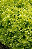 Laitue feuille de chêne 'Salad Bowl'