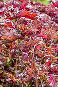 Perilla frutescens 'Purple Hedge'