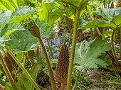 Gunnera manicata, Hyacinthoides non-scripta, Parc Floral Vincennes, Paris, France