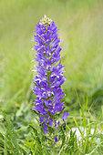 Spiked Bellflower (Campanula spicata) flowers, Savoie, Alps, France