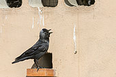 Eurasian Jackdaw (Corvus monedula) on a brick at the entrance of the nest in a wall, Catalonia, Spain