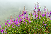 Fireweed (Epilobium angustifolium) flowers, Savoie, Alps, France