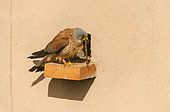 Little Kestrel (Falco naumanni) male with centipede on a brick at the entrance of the nest in a wall, Catalonia, Spain