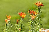 Orange Lily (Lilium bulbiferum) flowers, Alps, France