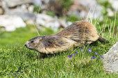 Alpine Marmot (Marmota marmota) walking in grass, Vanoise, Alps, France