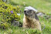 Portrait of Alpine Marmot (Marmota marmota), Vanoise, Alps, France
