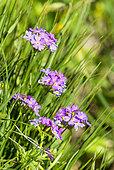 Bird's-eye Primrose (Primula farinosa) flowers, Alps, France
