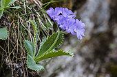 Silver-edged Primrose (Primula marginata); Queyras, Alps, France