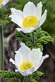 Alpine Pasqueflower (Pulsatilla alpina) flowers, Queyras, Alps, France