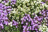 Wild Thyme (Thymus serpyllum) flowers, France, Alps