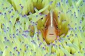 Pink skunk clownfish (Amphiprion perideraion), Sabang, Puerto Galera, Mindoro, Philippines, Asia