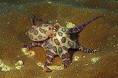 Blue-ringed octopus (Hapalochlaena lunulata), Raja Ampat, Irian Jaya, West Papua, Indonesia, Asia