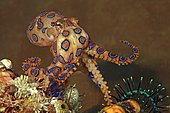 Blue-ringed octopus (Hapalochlaena lunulata), Sabang Beach, Puerto Galera, Mindoro, Philippines, Asia