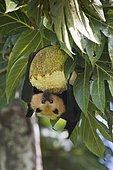 Seychelles flying dog (Pteropus seychellensis) eats breadfruit (Altocarpus altilis), Mahé, Seychelles, Africa