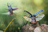 Two stag beetles starting to fly