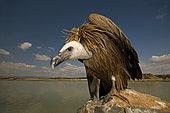 A young Grifon Vulture (Gyps fulvus) feeding on a carcasse, Hoya de Huesca, Spain