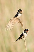 Pair of Swallows (Hirundo rustica) take a rest while building their nest. Huesca, Spain