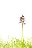 Lady orchid (Orchis purpurea), Espagne