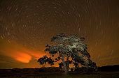 Holm Oak (Quercus ilex) at night under stars. Huesca, Spain