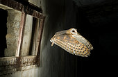 Barn Owl (Tyto alba) flying into a barn. Huesca, Spain