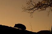 North African Hedgehog (Atelerix algirus) silouhette, Huesca, Spain