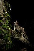 A wild Genet (Genetta genetta), looking for asleep birds in the trees. Huesca, Spain