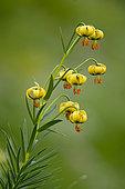 Straw-coloured turk's cap (Lilium pyrenaicum), Pyrenees, Spain