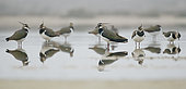 Lapwings ( Vanellus vanellus) resting on a pond Huesca, Spain