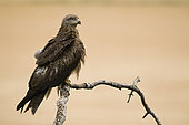 Black Kite (Milvus migrans) on a branch, Huesca, Espagne