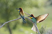 Bee eaters (Merops apiaster), a couple on a branch, Spain