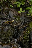 Fire Salamander (Salamandra salamandra) in a mountain stream, Asturias, Spain