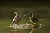 Cirl Bunting ( Emberiza cirlus) and Rock Sparrow (Petronia petronia), drinking waterin a pond, Huesca, Spain