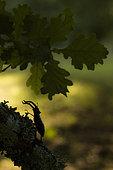Stag Beetle ( Lucanus cervus), male Pyrenees, Spain